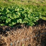 Straw Bale Gardening Information – Why It May Be Suitable For You
